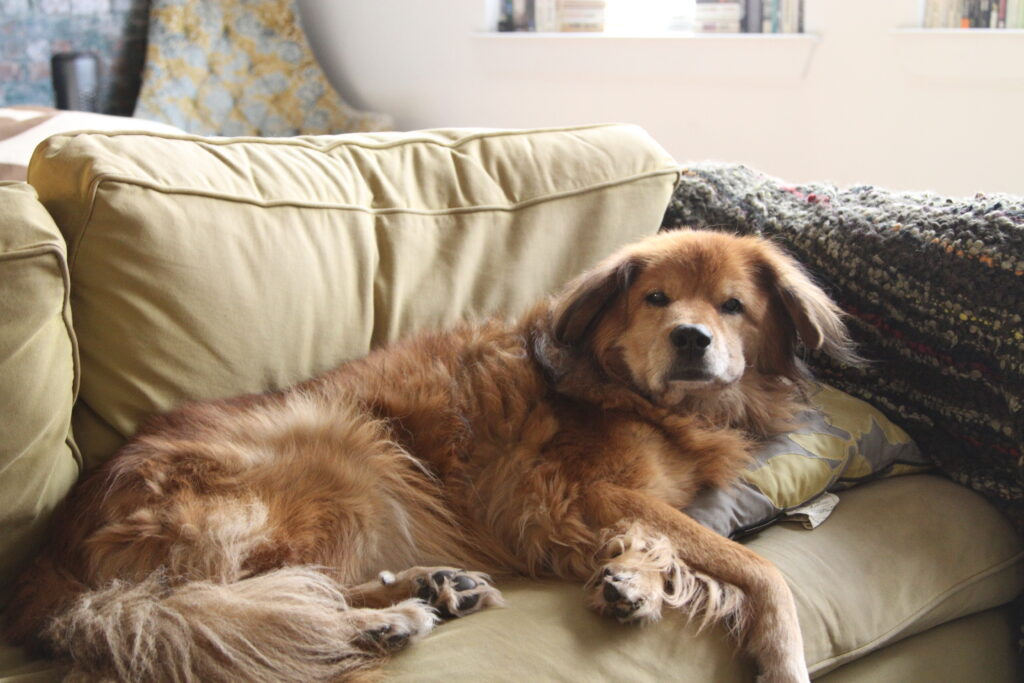 A large, fluffy orange dog lies on a green couch, glaring at the camera.