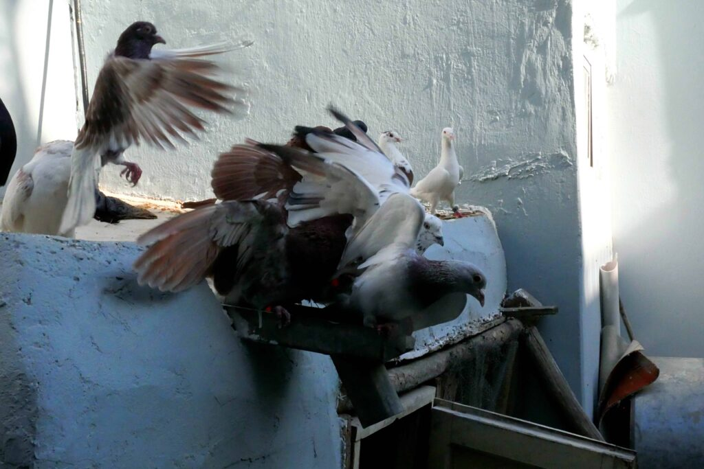 Return Flight: Why Kabul Is a Perfect Location to Fly Pigeons