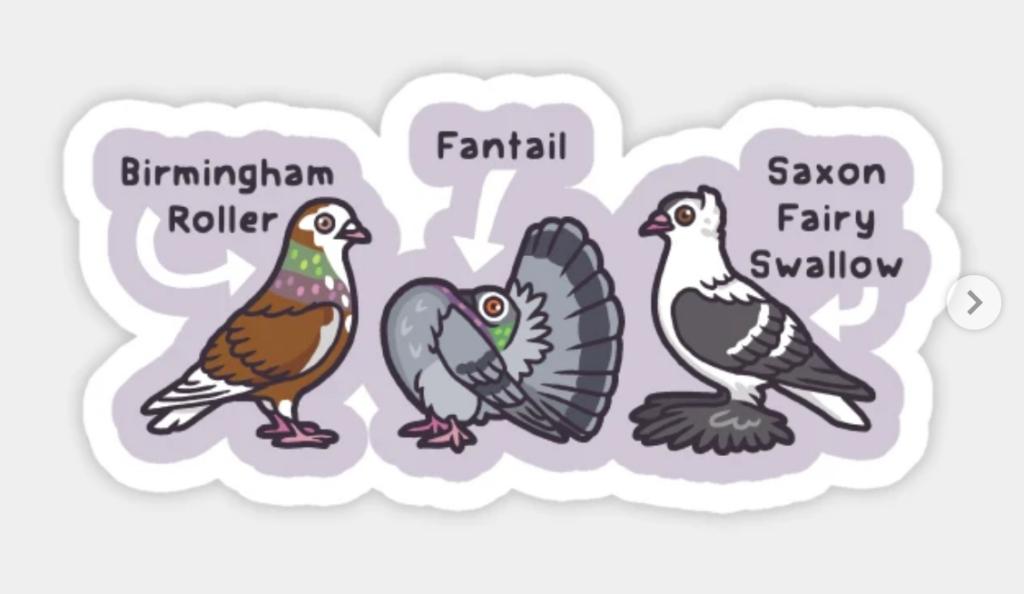 "three cartoon birds with the text ""birmingham roller, fantail, saxon fairy swallow"""